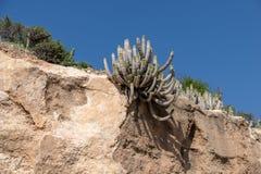 Euphorbiengummi Echinus, der in den trockenen Bedingungen, Agadir, Marokko wächst lizenzfreie stockfotografie