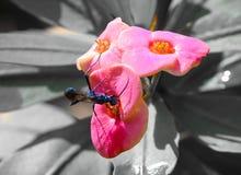 Euphorbiengummi milii Blume mit dem Spinnenwespeninsekt Schwarzweiss stockfotografie