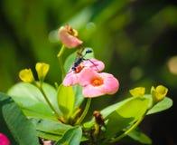 Euphorbiengummi milii Blume mit Spinnenwespeninsekt lizenzfreies stockfoto