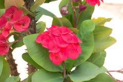 Euphorbiengummi milii Blumen Lizenzfreie Stockbilder