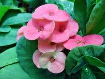 Euphorbiengummi milii Blumen Lizenzfreie Stockfotografie