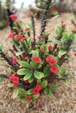 Euphorbiengummi Milii-Succulent-Anlage Lizenzfreie Stockfotografie