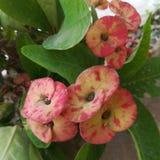 Euphorbiengummi milli Blumenanlage stockbild