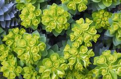 Euphorbiengummi myrsinites Lizenzfreie Stockfotos