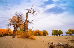 Euphrates poplar in desert. The poplar forest in the desert becomes orange in the fall, Ejinaqi ,China Royalty Free Stock Image