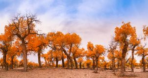 Euphrates poplar in desert. The poplar forest in the desert becomes orange in the fall, Ejinaqi ,China Stock Photos
