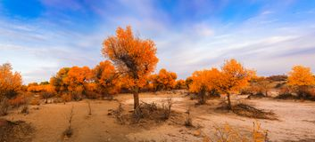 Euphrates poplar in desert. The poplar forest in the desert becomes orange in the fall, Ejinaqi ,China Stock Photography