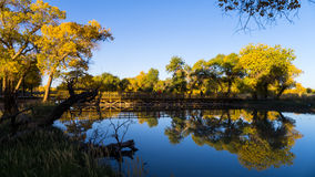 Euphrates Poplar Forests at Ejina Banner. Euphrates poplar, or Desert Poplar, is an ancient species of poplar tree in the willow family. The poplar trees change Stock Images