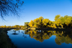Euphrates Poplar Forests at Ejina Banner. Euphrates poplar, or Desert Poplar, is an ancient species of poplar tree in the willow family. The poplar trees change stock photo