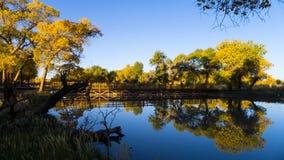 Euphrates Poplar Forests på det Ejina banret Arkivbilder