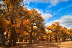 Free Euphrates Poplar In Desert Stock Images - 115463694