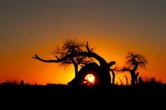 euphratica日落结构树 库存图片