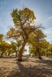 杨属euphratica在阳光下 库存图片