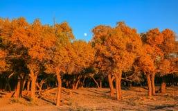 Euphratica do Populus Fotos de Stock