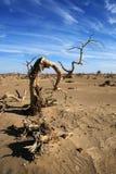 Euphratica tenace Oliv del populus Fotografia Stock Libera da Diritti