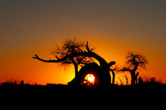 Euphratica trees in sunset Stock Image