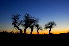 Euphratica trees in sunset Stock Photo