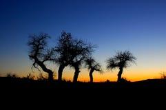 Euphratica trees in sunset Stock Photo