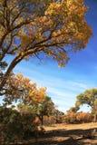 Euphratica van Populus stock foto