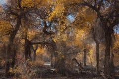 Euphratica van Populus Royalty-vrije Stock Foto