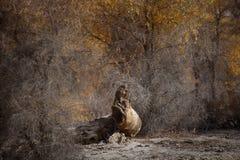 Euphratica van Populus Stock Fotografie