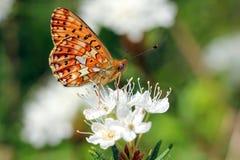 Euphrosyne de Boloria, fritillaire Perle-Encadrée Images stock