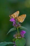 euphydryas aurinia Стоковые Изображения