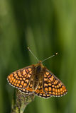 Euphydryas aurinia. Adults Marsh Fritillary (Euphydryas aurinia) resting on a daffodil bud Royalty Free Stock Images