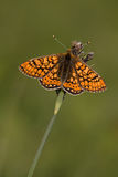 Euphydryas aurinia. Adults Marsh Fritillary (Euphydryas aurinia) resting on grass Stock Images