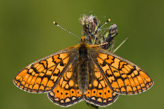 Euphydryas aurinia Royalty Free Stock Photo