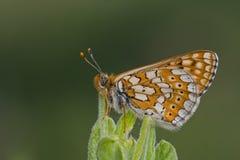 Free Euphydryas Aurinia Stock Photography - 15606892