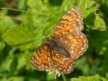 Euphydryas aurinia butterfly stock photo
