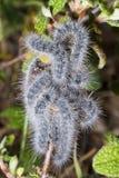 Euphydryas aurinia caterpillar Stock Images