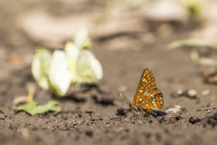 Euphydryas maturna Stock Photography