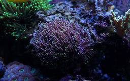 Euphyllia-Fackel LANGSPIELPLATTEN korallenrot Lizenzfreie Stockbilder