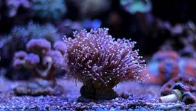 Euphyllia-Fackel LANGSPIELPLATTEN korallenrot Lizenzfreie Stockfotografie