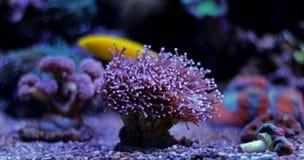 Euphyllia-Fackel LANGSPIELPLATTEN korallenrot Lizenzfreie Stockfotos