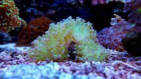 Euphyllia frogspawn lps coral Royalty Free Stock Images