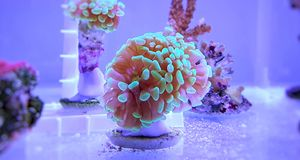 Euphyllia species Large Polyp Stony coral in saltwater reef aquarium. Euphyllia is a genus of large-polyped stony coral.Several species are commonly found in stock images