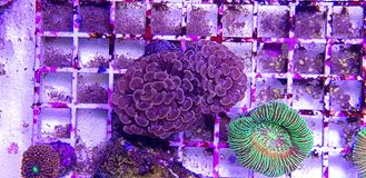 Euphyllia species Large Polyp Stony coral in saltwater reef aquarium. Euphyllia is a genus of large-polyped stony coral.Several species are commonly found in stock photography
