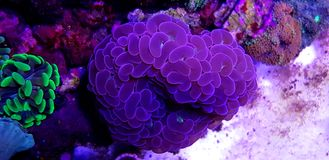 Euphyllia species Large Polyp Stony coral in saltwater reef aquarium. Euphyllia is a genus of large-polyped stony coral.Several species are commonly found in stock photo