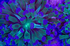 Euphyllia glabrescens. This is a branching torch coral, Euphyllia glabrescens royalty free stock image