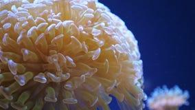 Euphyllia - groot-polyped steenachtig koraal stock footage