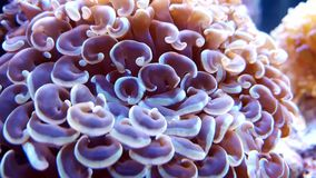 Euphyllia Hammer Coral Royalty Free Stock Photo