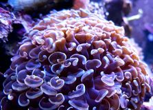 Euphyllia Hammer Coral Royalty Free Stock Images
