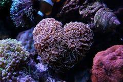 Euphyllia-Hammer LANGSPIELPLATTEN korallenrot Lizenzfreie Stockbilder