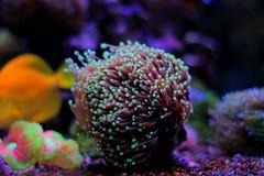 Euphyllia-Langspielplatten korallenrot Stockbild