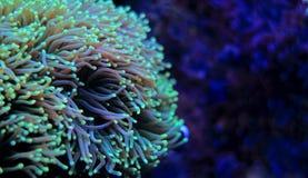Euphyllia-Langspielplatten korallenrot Stockfotos