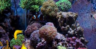 Euphyllia-Langspielplatten korallenrot Lizenzfreies Stockfoto