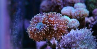Euphyllia-Langspielplatten korallenrot Lizenzfreie Stockbilder